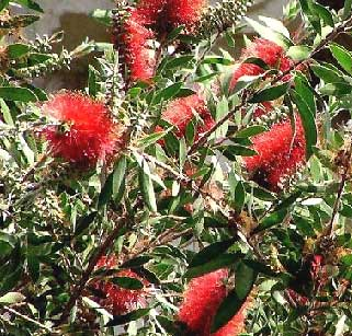 The gardens gift the flowers are actually long soft bristle like stamens hence the bottlebrush reference there are shrubs and trees in this family mightylinksfo